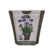 Bees Agapanthus Blue Grow Set