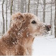 Christmas Cards Set A Golden Retriever In The Snow (X13257RCJP)