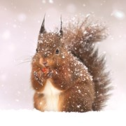 Christmas Cards Set A Red Squirrel (X13258RCJP)