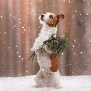 Christmas Cards Set A Jack Russell With Branch (X13260RCJP)
